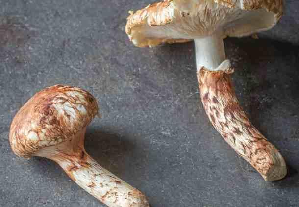 Tricholoma caligatum the false matsutake