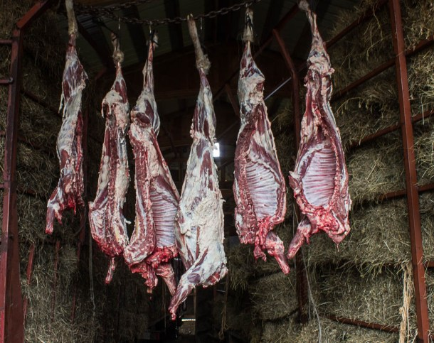 Butchered lamb hanging in the barn