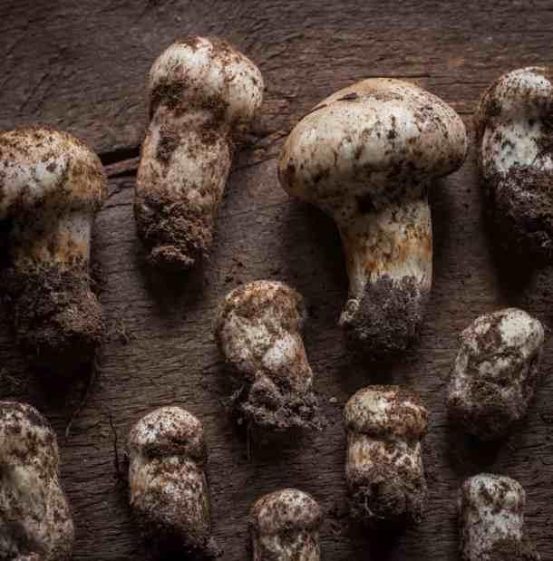 Matsutake Mushrooms from Minnesota