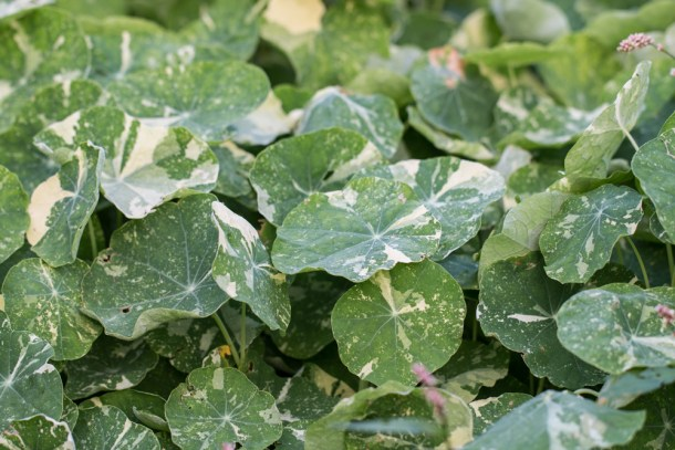 Edible nasturtiums