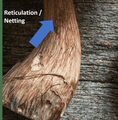 Reticulation on the stem of a Tylopilus mushroom