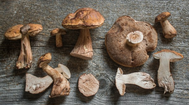 Tylopilus indecisus or ferrugineus mushrooms