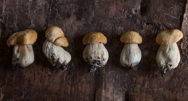 Wild porcini mushroom buttons