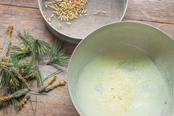 How to harvest pine pollen