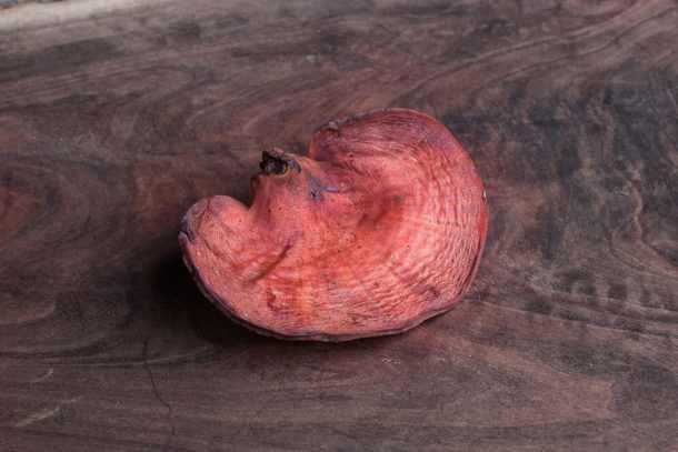 Beefsteak mushroom, oxtongue fungus or Fistulina hepatica