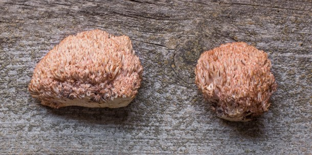 Ramaria botrytis or pink tipped edible coral mushrooms