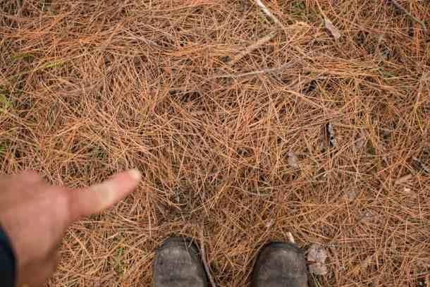 matsutake growing in pine needles in minnesota