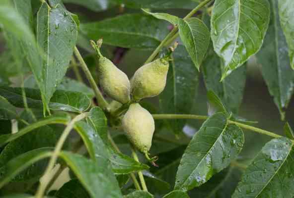 Green, unripe black walnuts