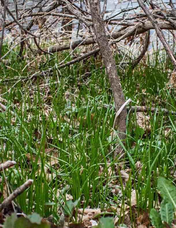 Allium canadense or a similar wild onion