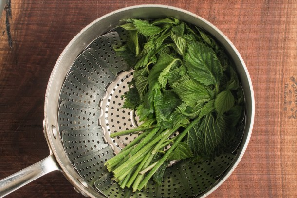 Wood nettle shoots or Laportea canadensis