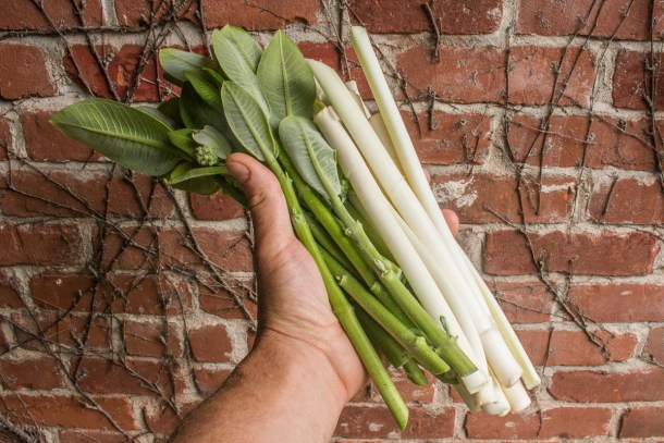 Cooking with foraged cattail shoots and milkweed shoots