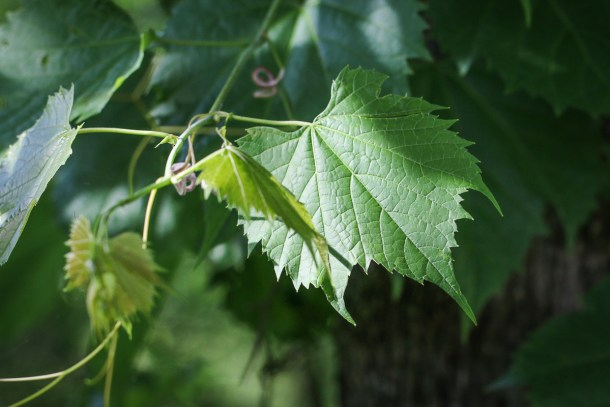 Wild grape leaves or Vitis riparia
