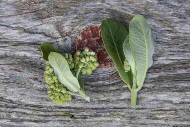 Milkweed bud clusters