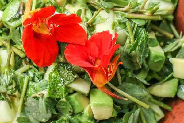 Foraged purslane, cucumber, and avocado salad with cilantro