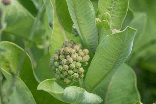 Various edible parts of milkweed: shoots, flowers, unripe flowers, mature unripe flowers, leaves