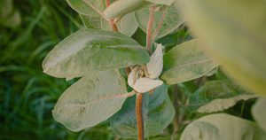 Edible milkweed pods