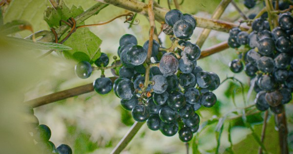 Wild grapes. Image by Jesse Roesler.