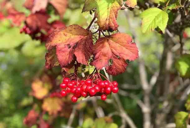 Highbush cranberries or Viburnum