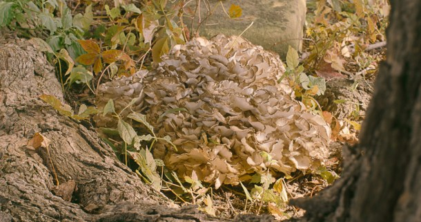 Hen of the woods or maitake mushroom or grifola frondosa