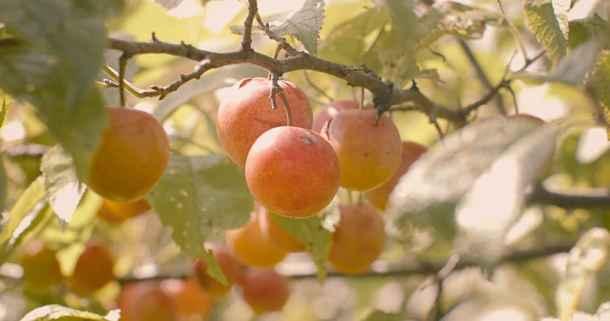 Wild Plums Prunus americana image by Jesse Roesler