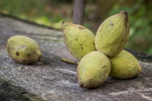 Butternuts, white walnuts, or Juglans cinerea