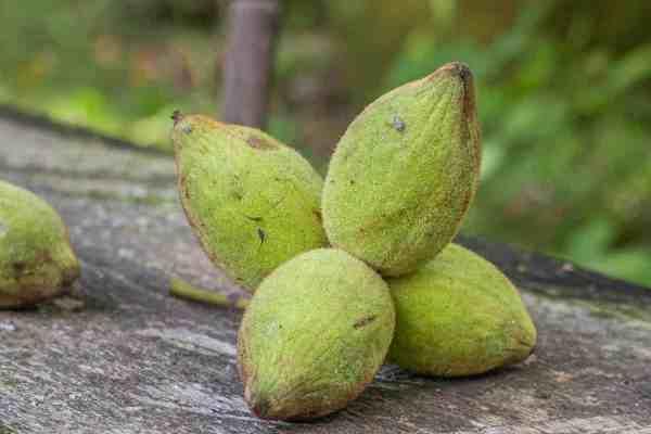 Butternuts, white walnuts, or Juglans cinerea