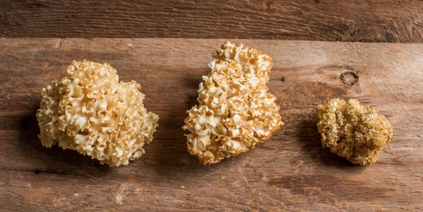 Cauliflower mushrooms or Sparassis crispa