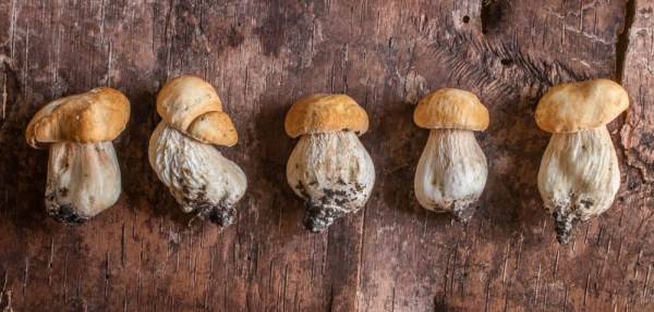 Porcini wild mushroom buttons from Minnesota