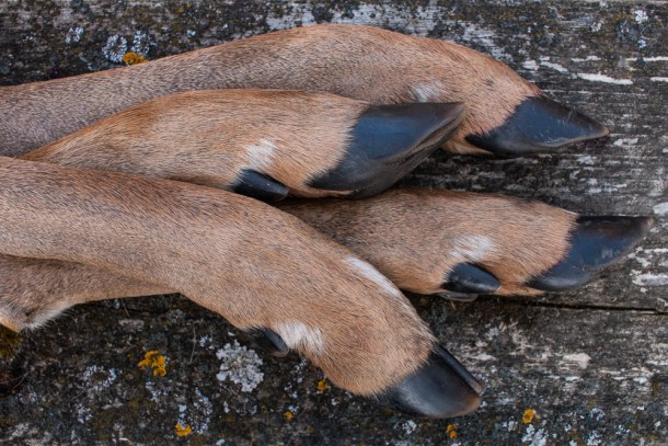 Venison feet or trotters for cooking