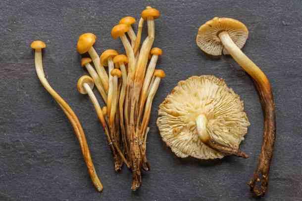 Wild Enoki Mushroom or Flammulina velutipes clones
