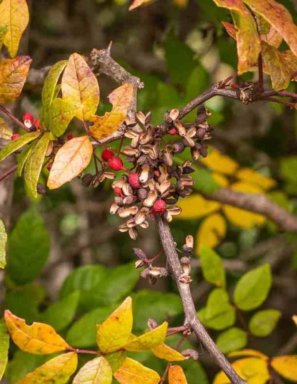 Wild prickly ash or Szechuan peppercorn wontons (6)