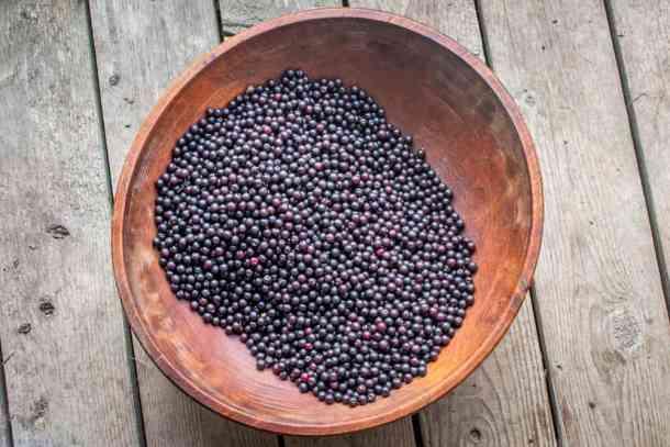 Wild black cherries or Prunus serotina