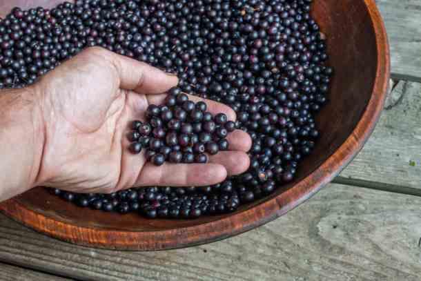 Wild black cherries or Prunus serotina wild cherry