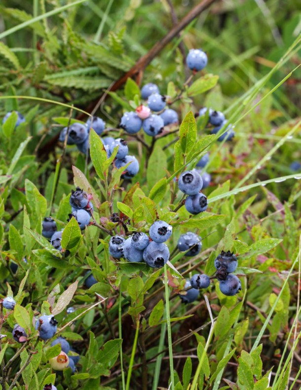 Wild lowbush blueberries or Vaccinium augustifolium