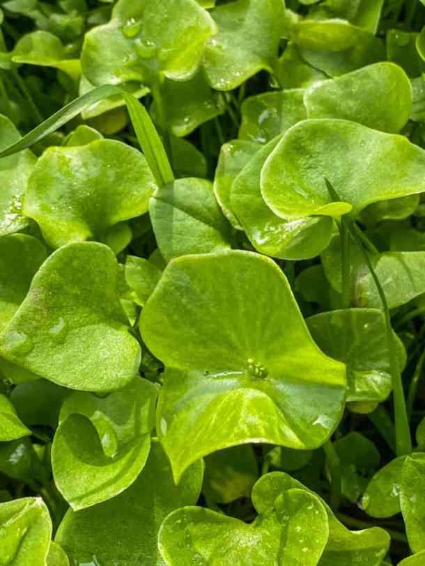 Miners lettuce or Claytonia perfoliata