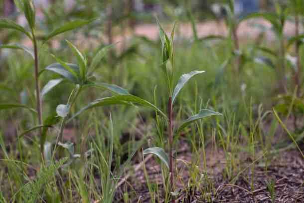 Edible Canada goldenrod shoots