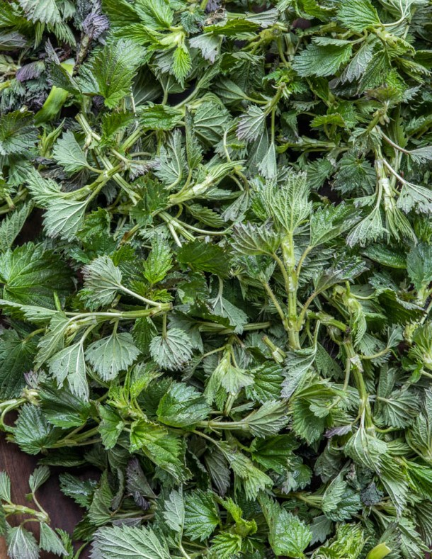 Common nettles Urtica dioica