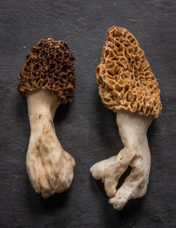 Very large Morels from Minnesota