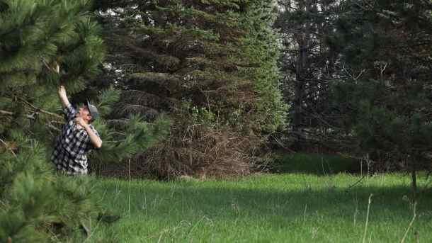 Harvesting a pine cone