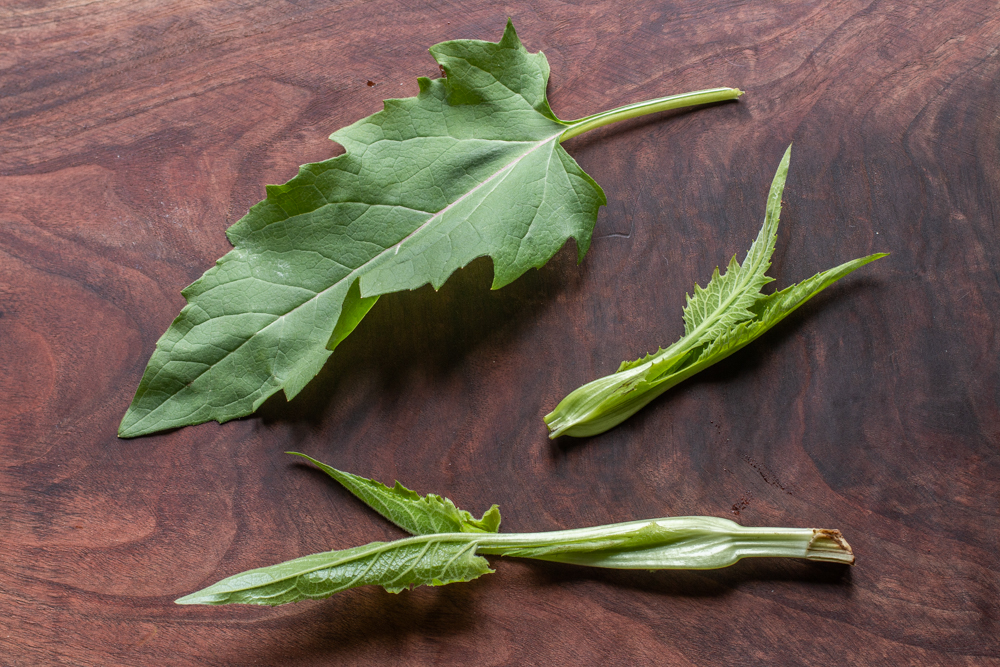 Leaves and tender tops of Silphium perfoliatum or cup plant