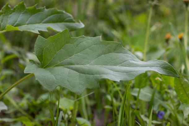 Mature leaves of Silphium perfoliatum