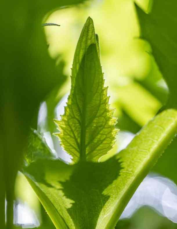 Tender top meristems of Silphium perfoliatum or cup plant