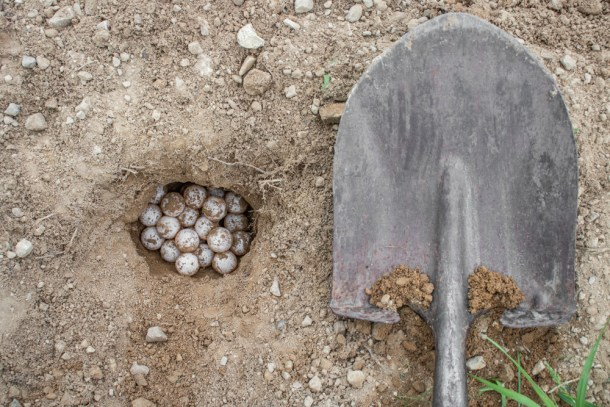 harvesting snapping turtle eggs