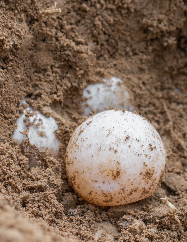 Snapping turtle egg nest
