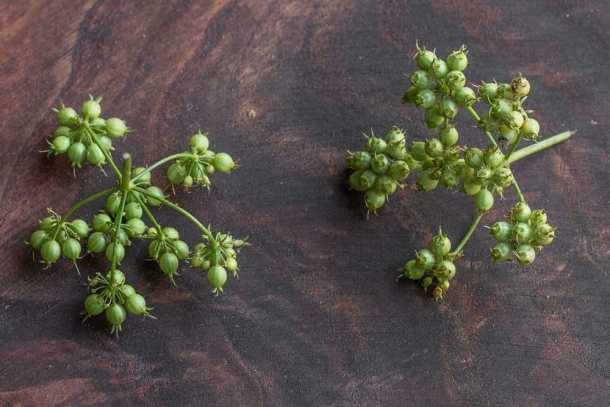 Green coriander seed or unripe coriander, green cilantro seeds