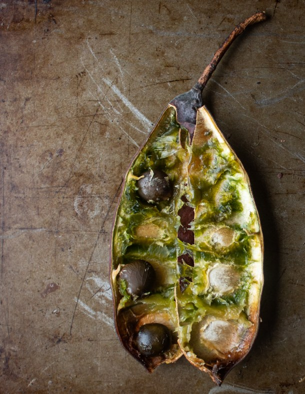 Mature Kentucky coffee tree pods with seeds