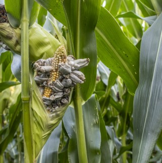 A beautiful ear of corn with cultivated huitlacoche