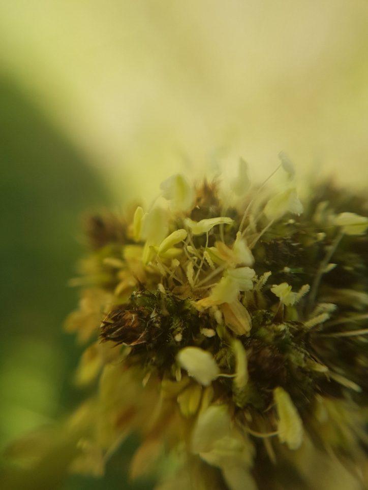 Plantain flowers