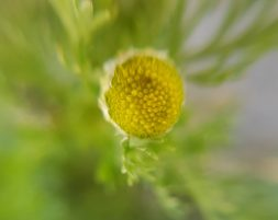 Pineapple_Weed_closeup