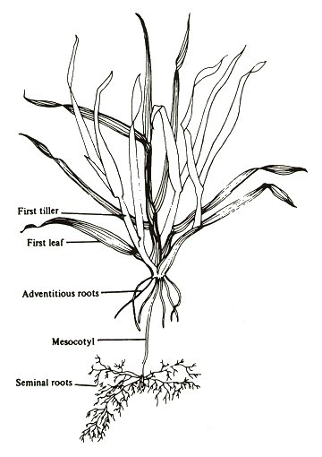 how to draw stem and leaf diagram stereo wiring tillering | forage information system oregon state university
